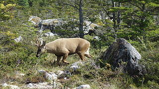 Rare sighting of a Heumel; This is the only large wild animal we saw in Patagonia